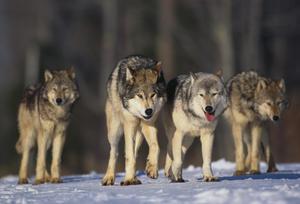 Différences entre le loup et les bergers allemands