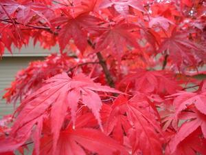 Comment transplanter un arbre d'érable du Japon Bloodgood
