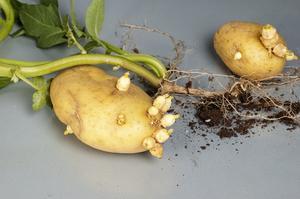 Pommes de terre se d guste quand ils commencent germer - Faire germer des pommes de terre ...
