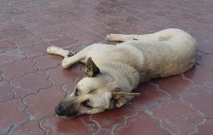 Symptômes de la maladie pancréatique chez le chien