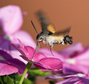 Hummingbird Moth Information