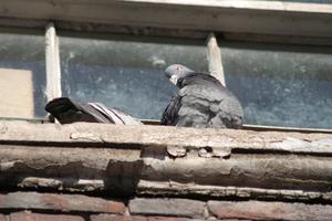 se d barrasser des pigeons sur le toit. Black Bedroom Furniture Sets. Home Design Ideas