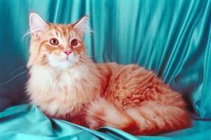 Un chat avec une boule de poils qui ne passera pas