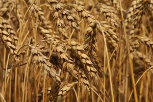 Quels aliments sont autorisés dans un régime libre de blé ?