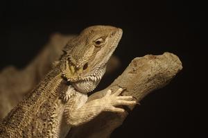 Comment puis-je savoir si mon bébé bearded dragon est masculin ou féminin ?