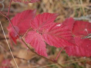 Comment identifier les arbres avec des feuilles rouges - Comment cuisiner les feuilles de betterave rouge ...