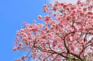Arbres de floraison des cerisiers élagage