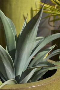 Comment cultiver Agave en pot