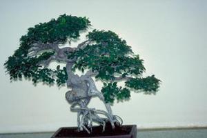 Ficus bengal perd ces feuilles - Comment faire un bonsai ...