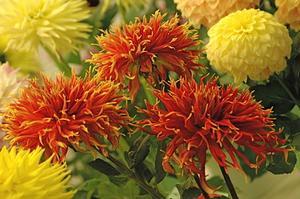 Comment planter les dahlias en pots - Comment planter des dahlias ...
