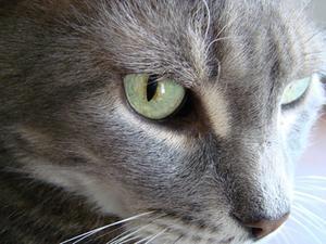 Les chats âgés & insuffisance rénale