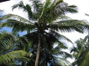 Information gratuite sur les arbres de noix de coco