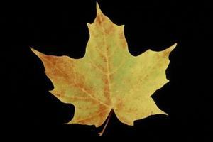 Pourquoi une feuille d'érable ne Change pas de couleurs à l'automne ?