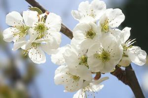 Cerisiers pour petits jardins