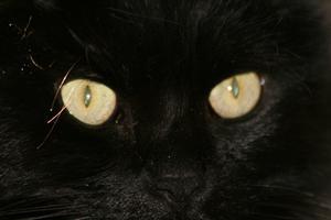 Léthargie décharge yeux & faiblesse chez les félins