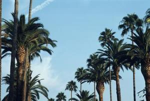 Stades de croissance des palmiers dattiers