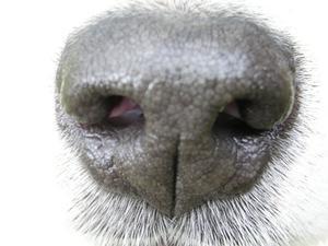 Décharge de nez en sang chez le chien