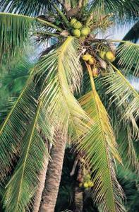 Noix de coco et ses utilisations