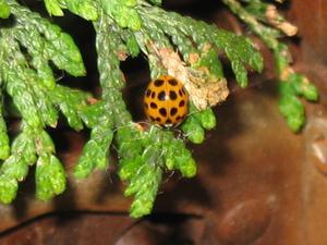 Champignon orange sur un tronc d'arbre de cèdre