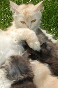 Sympt mes d 39 une fausse couche chez un chat - Fausse couche spontanee symptomes ...
