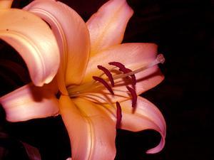 Comment prendre soin pour Magic Lily fleurs