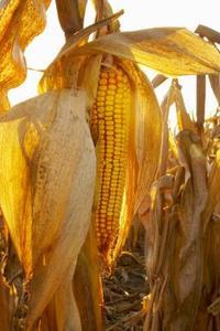 Comment pimenter de maïs en conserve