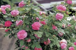Comment se débarrasser des pucerons sur roses organiquement