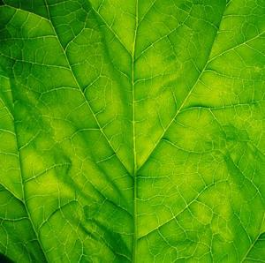 Pigments végétaux dans les épinards
