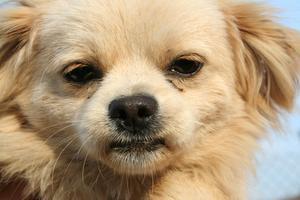 Remèdes naturels pour les convulsions chez le chien