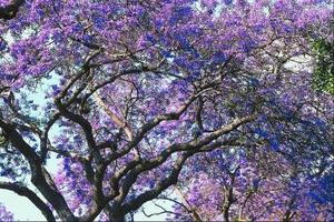 arbre fleur petale violette / condexatedenbay.com