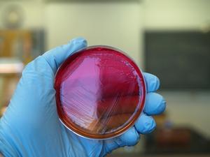 Infection staphylococcique de peau chez le chien