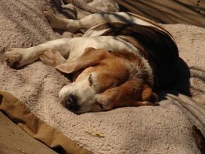 Signes & symptômes des tiques sur les chiens