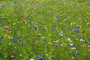 Comment faire pour le jardin avec des plantes de Prairie