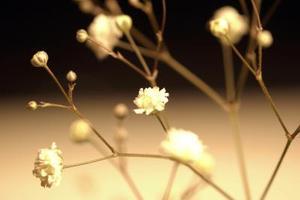 Ce qui est une plante comme le souffle du bébé avec des fleurs blanches ou roses ?