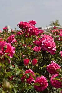 Comment propager Rose Bush boutures