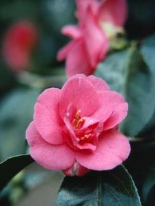 Comment & quand tailler un buisson de Camellia