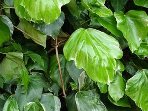 Comment la racine des plantes de lierre - Comment se debarrasser du lierre ...