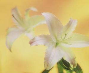 Haute tige-feuilles verte avec des fleurs blanches ou roses
