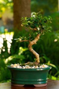 Instructions de Jade arbre bonsaï