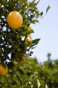 Feuilles jaunes sur orangers 6 mois