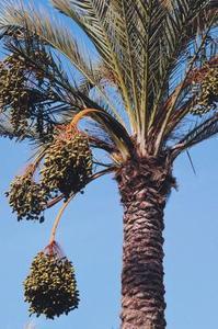 Espèce de palmier dattier