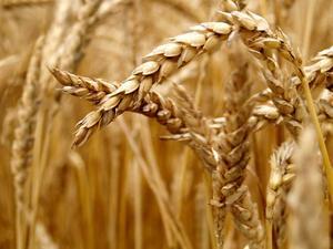 Signes & symptômes d'allergie au blé