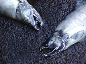 Comment calculer la longueur & poids saumon