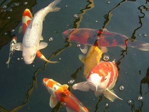 Comment faire un filtre de bassin de poissons externe for Bassin a poisson sans filtre