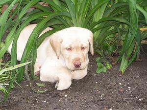 Comment faire pour s'occuper d'un chiot labrador