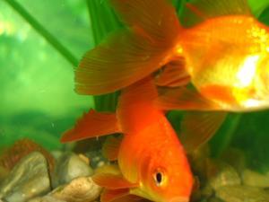 Poisson betta malade for Nourrir des poissons rouges