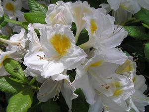 Comment transplanter les buissons de rhododendrons