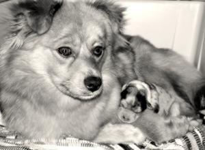Comment prendre soin pour les chiennes, après que qu'ils ont eu des chiots