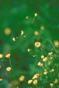 Herbicides qui tuent la renoncule rampante