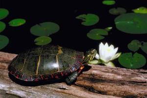 Comment aider une tortue avec une carapace de saignement